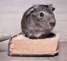 grey guinea pig sitting on book